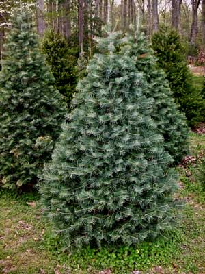 Delaware Christmas Tree Growers Association Firs